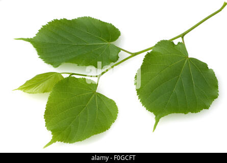 Sommerlinde, Lindenblatt, Tilia platyphyllos, - Stock Photo