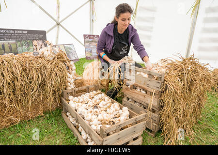 Newchurch, Isle of Wight, UK. 15th Aug, 2015.  A woman strings garlic at the festival, the Island's biggest summer - Stock Photo