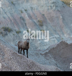 Bighorn sheep stands at alert along Badlands Loop Rd  near Ancient Hunters Overlook in Badlands National Park, South - Stock Photo