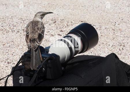 Espanola Mockingbird (Mimus macdonaldi) perched on tourist's camera and pack.