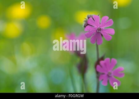 Red campion (Silene dioica) flowers, Liechtenstein, June 2009 - Stock Photo