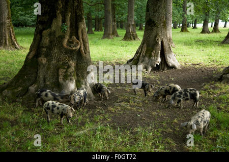 Ash trees (Fraxinus sp.) in a tree nursery, Tangstedt