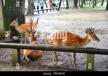 Deers at Kofukuji Temple in Nara is the capital city of Nara Prefecture located in the Kansai region of Japan. collectively - Stock Photo