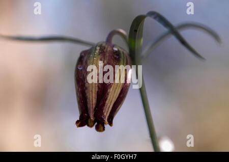 (Fritillaria messanensis) flower, Prina, Crete, Greece, April 2009 - Stock Photo