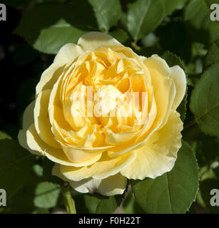 rosa 39 charlotte 39 david austin rose garden stock photo royalty free image 91509669 alamy. Black Bedroom Furniture Sets. Home Design Ideas