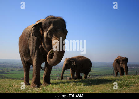 Elephants taking a stroll over the Chiltern Downs - Stock Photo