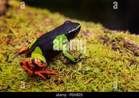 A painted Mantella frog in Andasibe Mantadia National Park , Madagascar. - Stock Photo