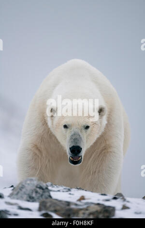 Polar bear (Ursus maritimus) portrait, Svalbard, Norway, September 2009 Wild Wonders kids book. - Stock Photo