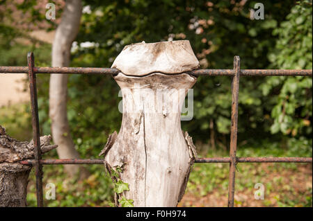 torso remains of elderberry tree trunk that has grown into a steel railing fence post and is skewered trapped in - Stock Photo