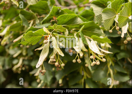 Developing seed cases of lime tree with single wing for wind dispersal best for strong gusty winds - Stock Photo