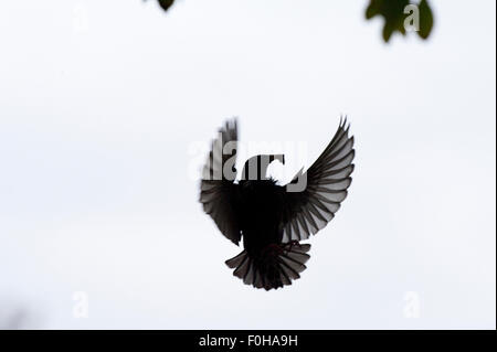 Common starling (Sturnus vulgaris) flying in garden of Vatican City, Rome, Italy, March 2010 - Stock Photo