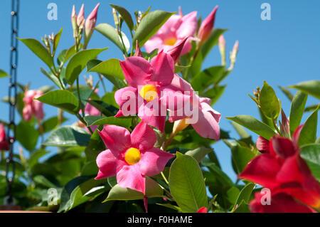 Dipladenia, Rio Hot Pink, Mandevilla-Hybride, - Stock Photo