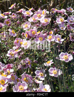 Herbstanemone, Anemone, tomentosa, - Stock Photo