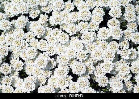 Schleifenblume, Zwergschneeflocke, Iberis, sempervierens, - Stock Photo
