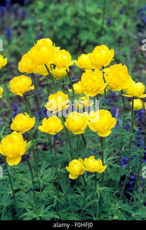 Trollblume, Trollius europaeus, Fruehjahrsblume, gelbe Bluete, Wasserpflanzen - Stock Photo