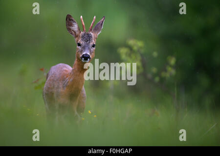 Roe Deer (Capreolus capreolus) in mountain meadow. Bieszczady, Carpathian Mountains, Poland, June. - Stock Photo