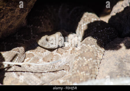 Courting Western Diamond-backed Rattlesnakes, (Crotalus atrox), Volcanoes Day Use Area, Petroglyph National Monument, - Stock Photo