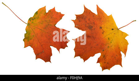 Fall autumn maple leaf isolated - Stock Photo