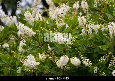 Panicles of scented white flowers of the sweet pepper bush, Clethra alnifolia - Stock Photo