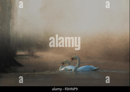 A pair of Swans on river in morning mist - Stock Photo