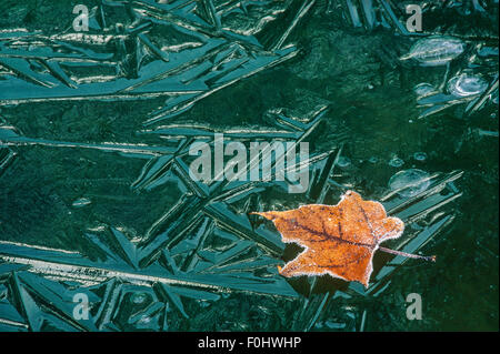 Maple leaf rests on the icy surface of a wetland in Allegany State Park, Cattaraugus Co., NY - Stock Photo