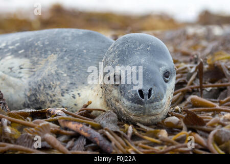 A Leopard Seal lying in Kelp on the shore at Volunteer Point, Falkland Islands. Leopard seals are not native to - Stock Photo