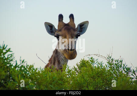 An adult South African giraffe feasts on vegetation and pokes its head above the trees in Swaziland. - Stock Photo
