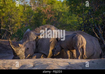 As the sun begins to set over Mkhaya Game Reserve, a white rhinoceros rests in the forest as its baby looks on. - Stock Photo