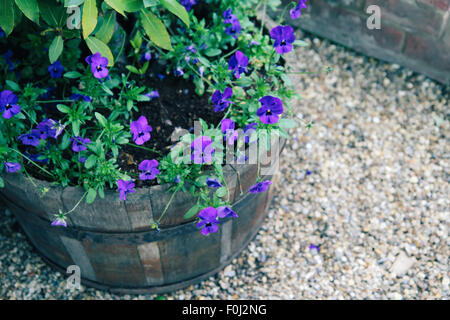 Colorful multiflora petunias in vintage wooden planter - Stock Photo