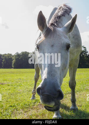 Humorous closeup portrait of a white horse taken from a low angle - Stock Photo