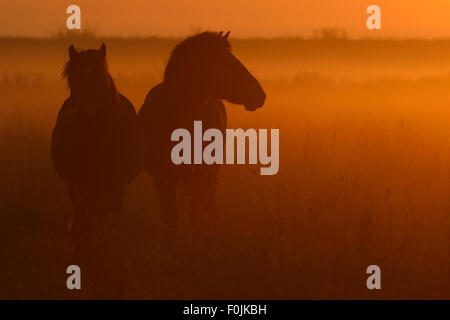 Exmoor ponies at sunrise, one of the oldest and most primitive horse breeds in Europe, Keent Nature Reserve, The - Stock Photo
