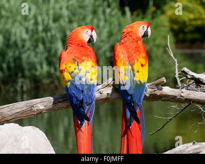 Pair of South American Scarlet macaws (Ara macao) posing on a branch - Stock Photo