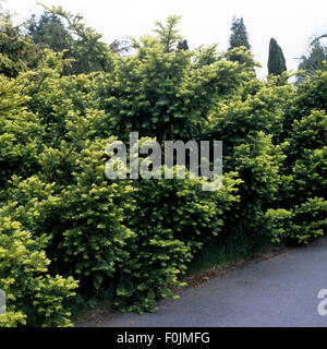 Eibe,Taxus Baccata, Dorastoniana - Stock Photo
