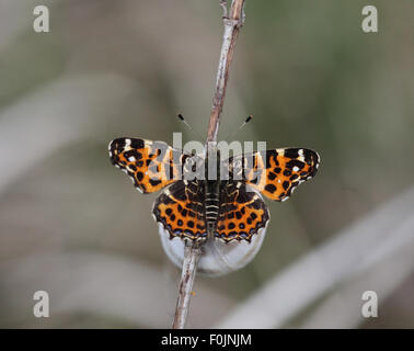 Map butterfly Araschnia levana First brood at rest - Stock Photo