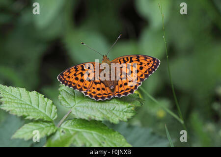 Marbled fritillary Brenthis daphne at rest on bramble leaf - Stock Photo