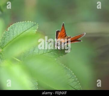 Large skipper Ochlodes venatus female at rest on rose bush - Stock Photo
