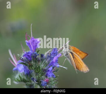 Large skipper Ochlodes venatus female taking nectar from vipers bugloss - Stock Photo