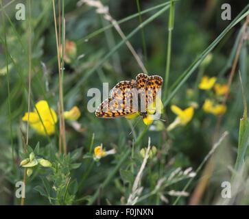 Marbled fritillary Brenthis daphne feeding on vetch - Stock Photo