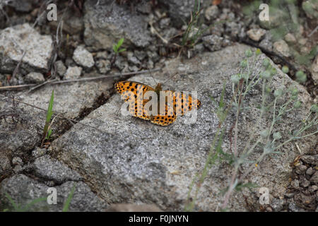 Queen of spain fritillary Issoria lathonia  at rest on rock - Stock Photo