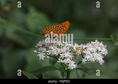 Silver washed fritillary Argynnis paphia taking nectar from scrub elder - Stock Photo