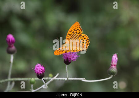 Silver washed fritillary Argynnis paphia male taking nectar from thistle - Stock Photo