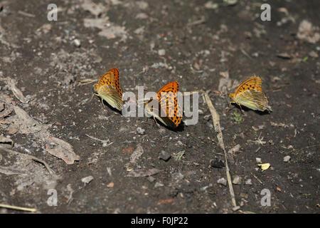 Silver washed fritillary Argynnis paphia feeding on damp soil - Stock Photo