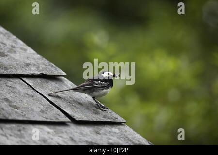 Pied wagtail (Motacilla alba) perching on barn roof with beakfull of flies - Stock Photo