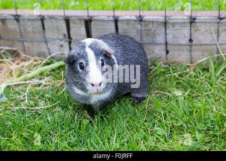 Photograph of a Grey and White Agouti Guinea Pig - Stock Photo