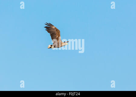 White Tailed eagle flying in the sky - Stock Photo