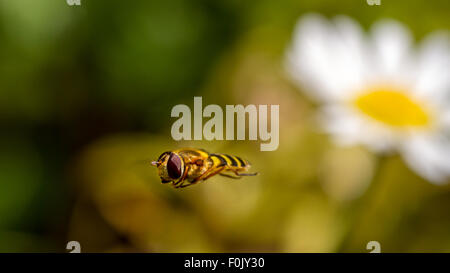 Hoverfly leaving a wild flower, corn chamomile - Stock Photo