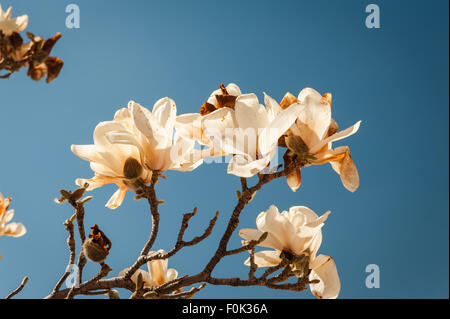 Blooming magnolia tree. - Stock Photo