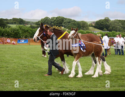 Prize winning mare and foal with their rosettes and cup, being led by their handler at Bury Agricultural Show. - Stock Photo