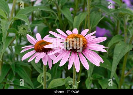Bumble bee on echinacea flowerhead - Stock Photo