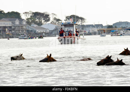 Wild ponies swim across the channel during the 90th annual Pony Swim from Assateague Island on Virginia's Eastern - Stock Photo